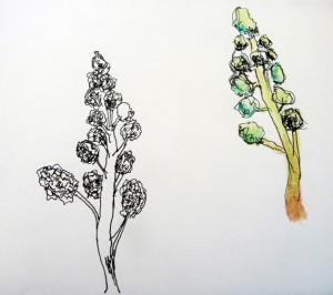 Brocoli arbre toscane w